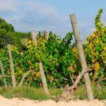 DO-Tarragona-agricola-de-brafim-enoguia-04